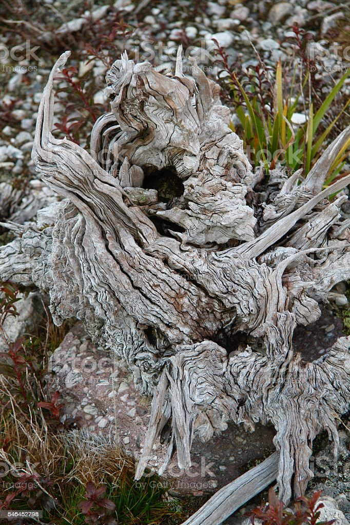 Old Tree Root, Dead Tree, Drift Wood Close-Up stock photo