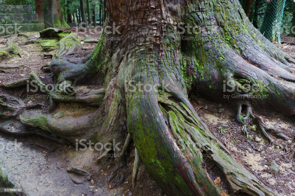 Old tree root stock photo