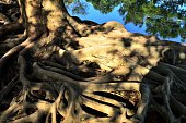 Old tree roots 01