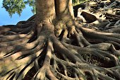 Old tree roots 02