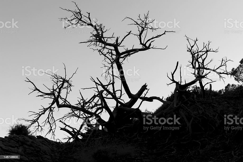 Old tree silhouette royalty-free stock photo
