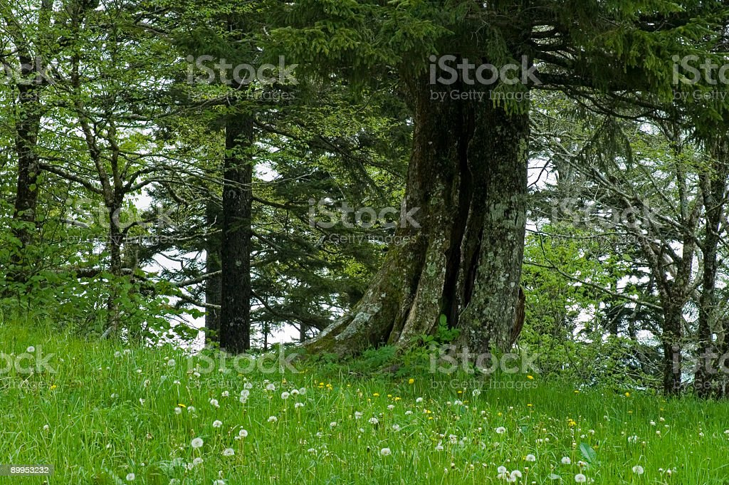 Old Tree, Spring, Great Smoky Mtns NP royalty-free stock photo