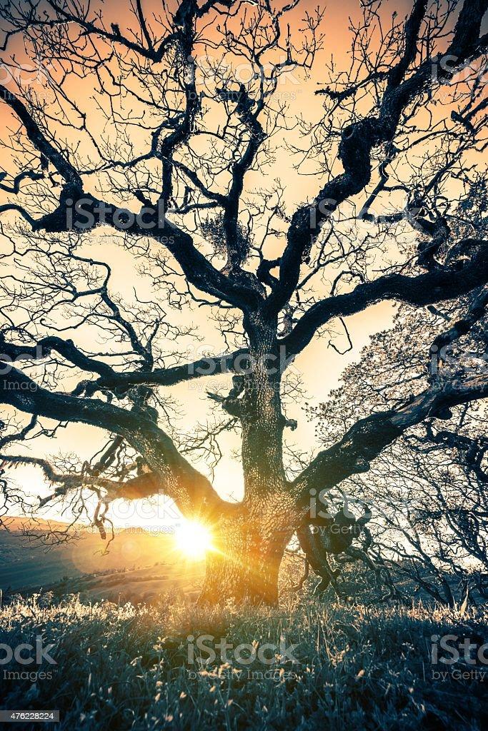 Old Tree Sunset stock photo