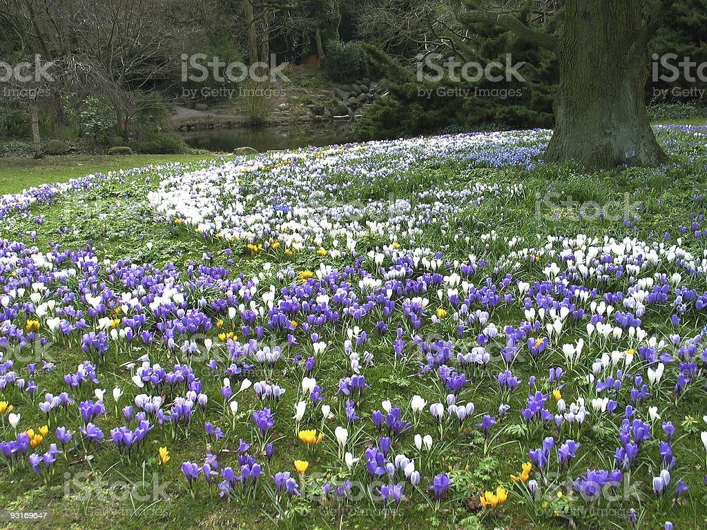 Old tree surrounded by lots of colorful crocus royalty-free stock photo