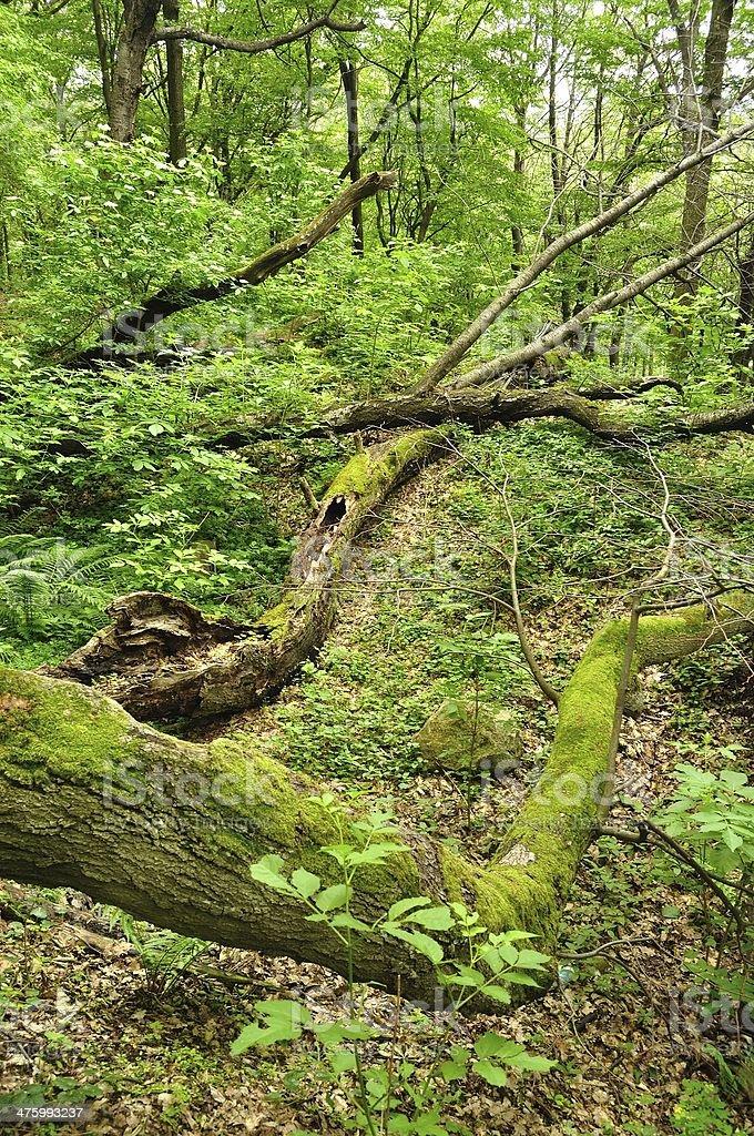 Stary Pień drzewa leżeć w zielony Las zbiór zdjęć royalty-free