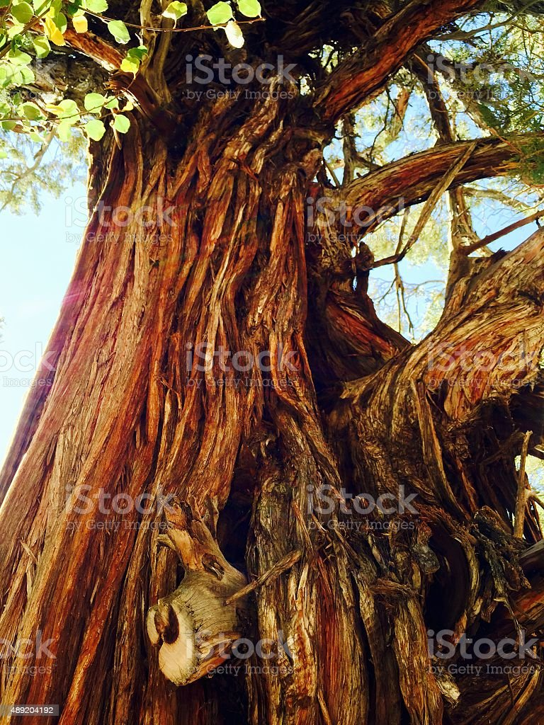 Old tree with leaves against blue skies royalty-free stock photo