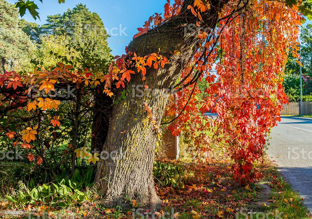 Old tree with red leaves, Jurmala, Latvia stock photo