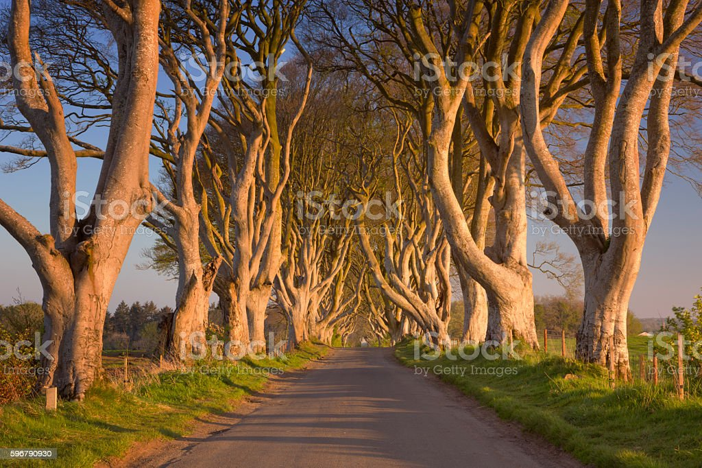 Old trees at the Dark Hedges in Northern Ireland stock photo