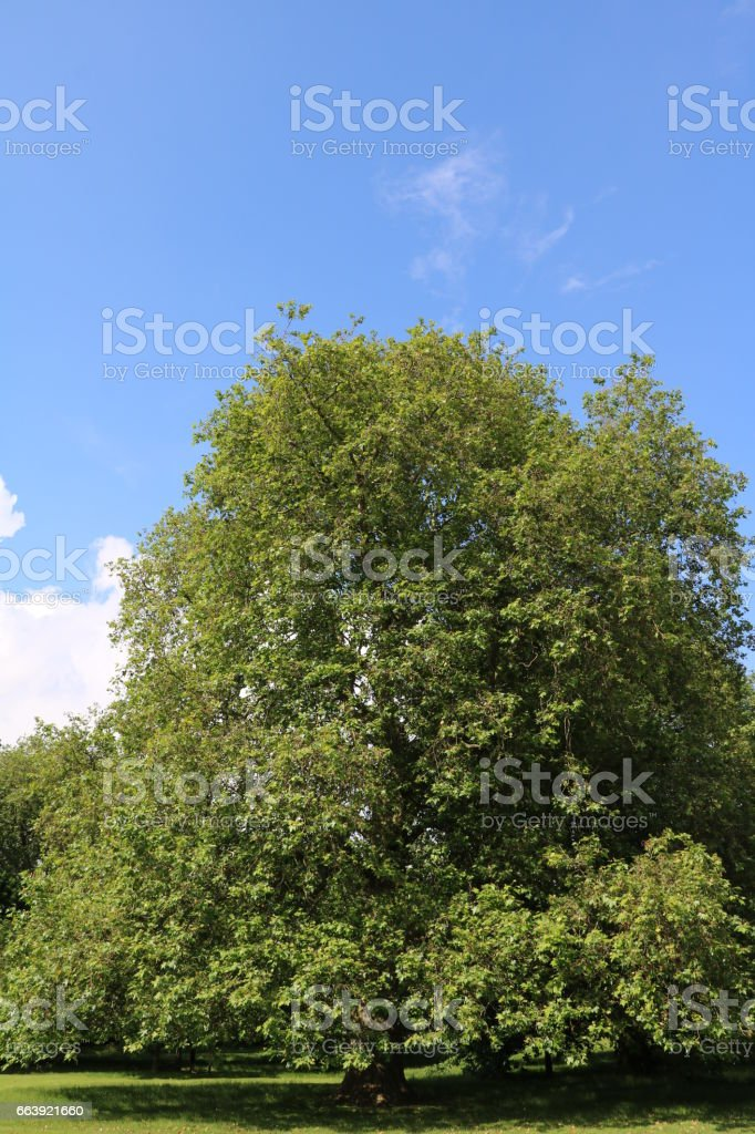 Old trees in Hyde Park in London, United Kingdom stock photo