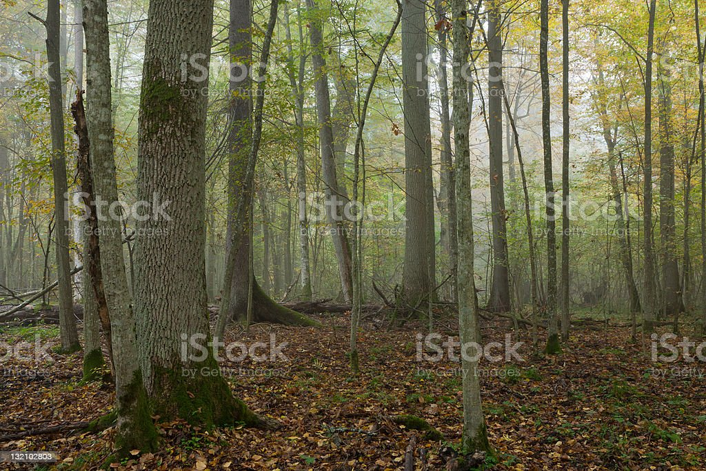 Old trees in natural stand of Bialowieza Forest royalty-free stock photo