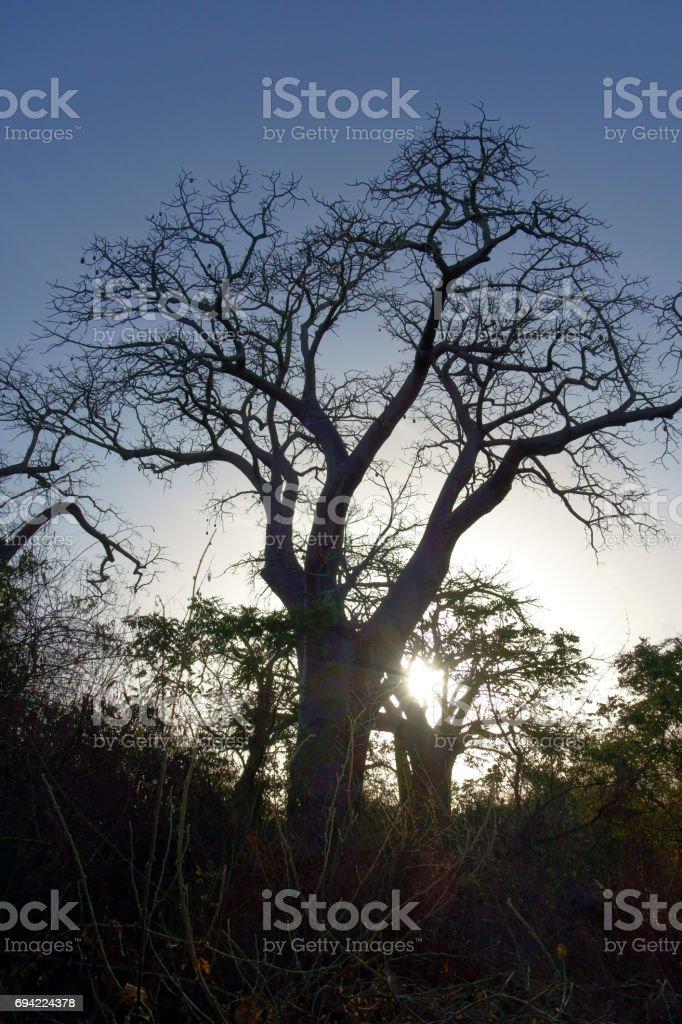 Old trees on islands made out of seashells, Sine Saloum Delta, Senegal stock photo