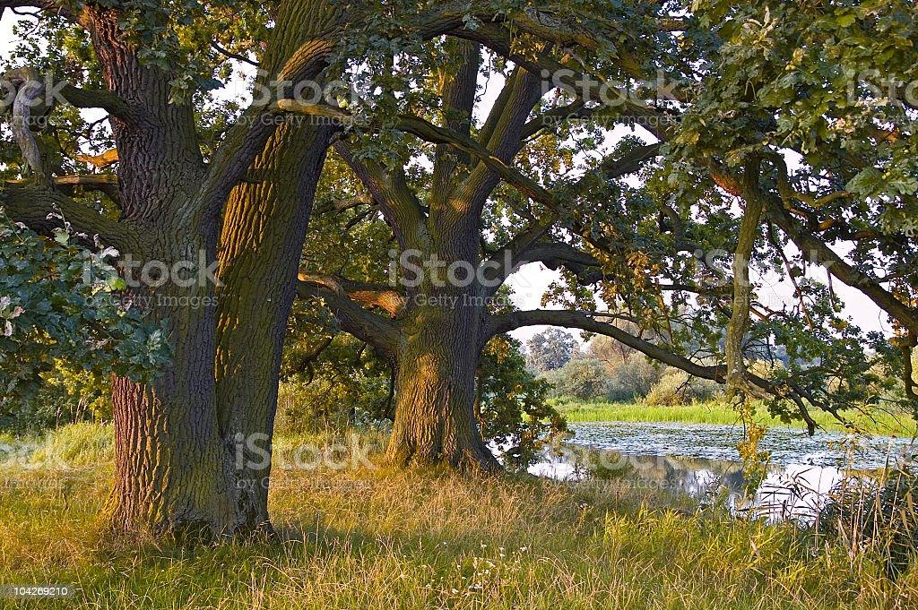 Old trees stock photo
