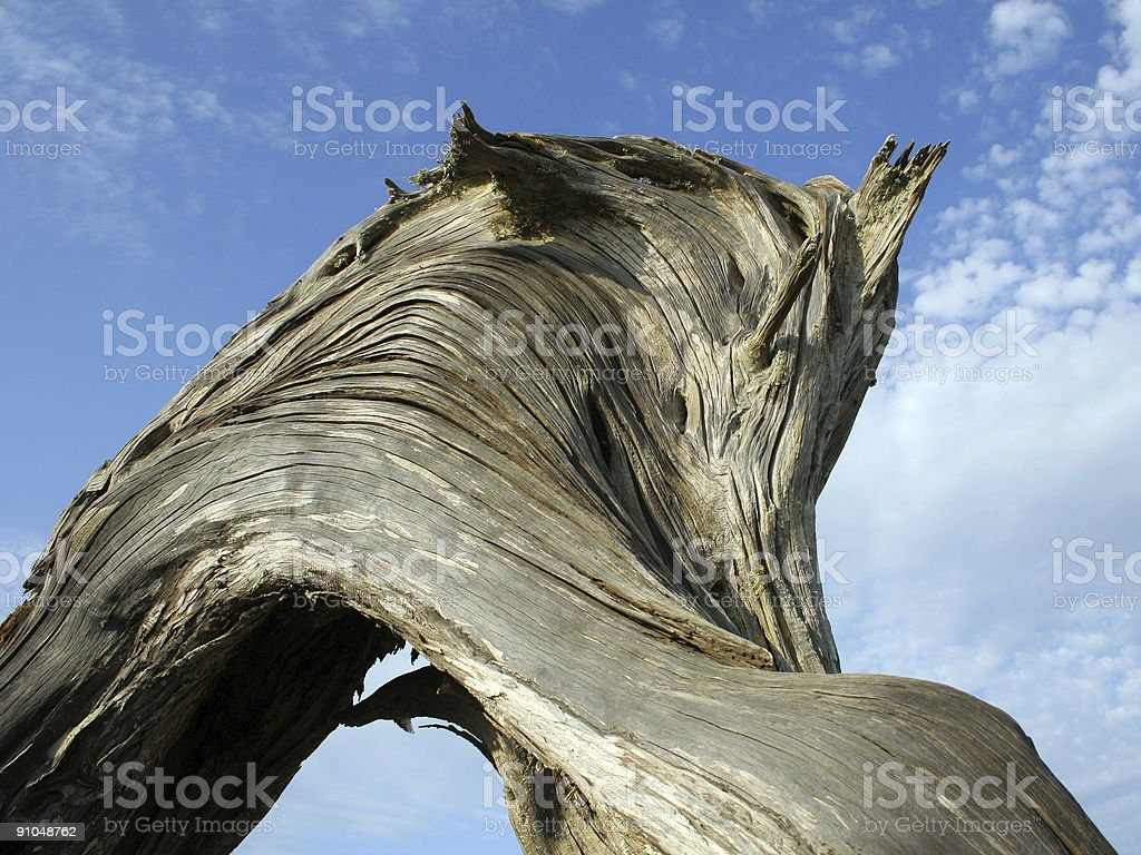 Old Twisted Juniper royalty-free stock photo