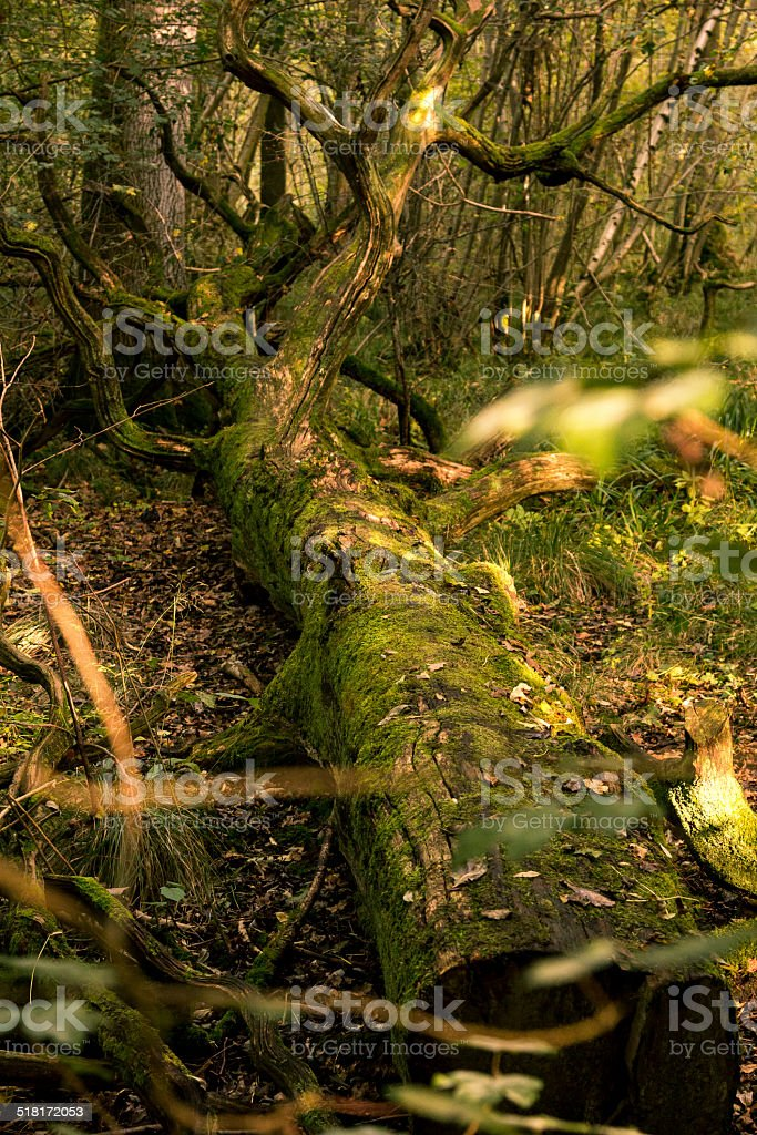 Old twisted tree stock photo