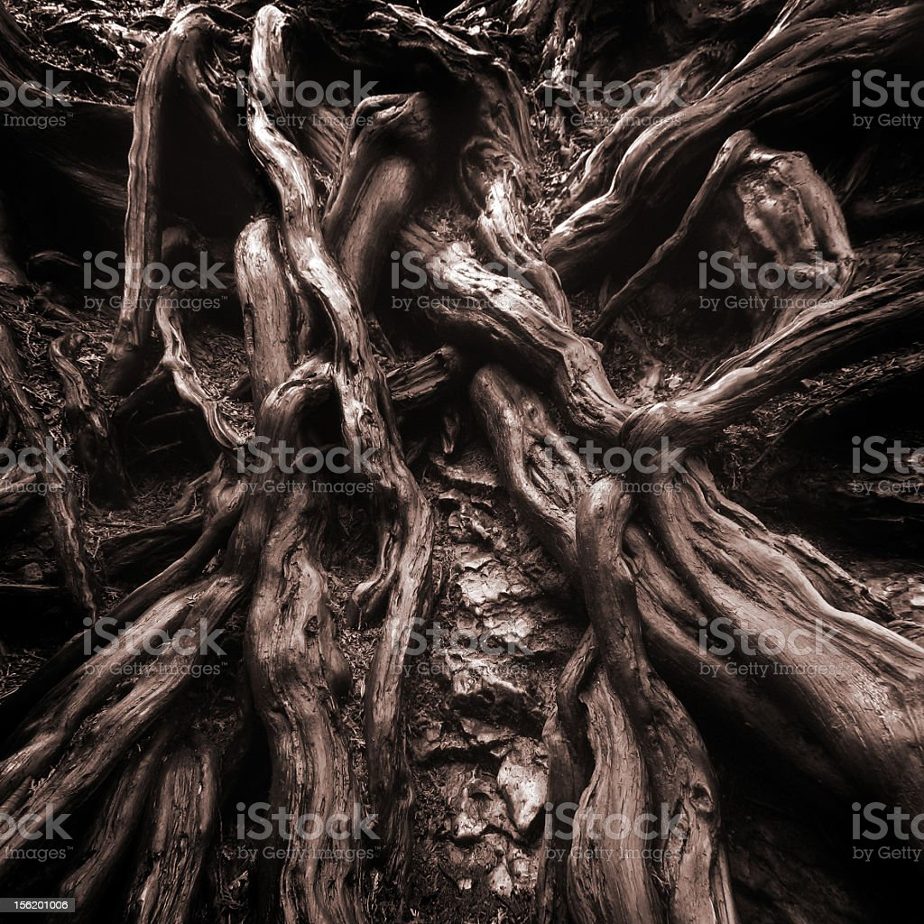 Old twisted tree roots intertwining stock photo