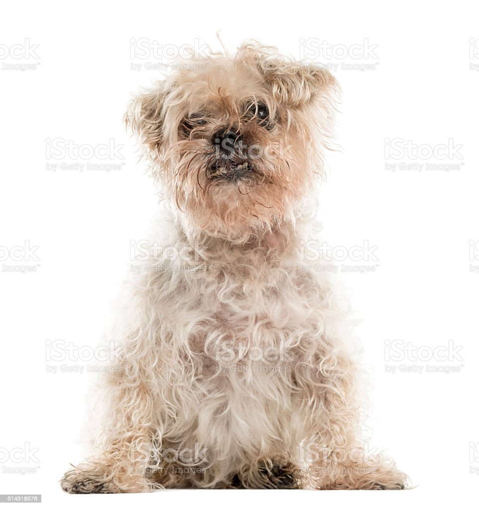 Old ugly crossbreed dog sitting stock photo