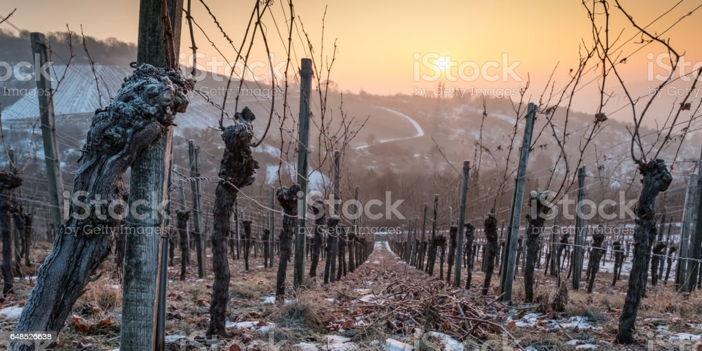 Old vine in sunset with ice and snow stock photo