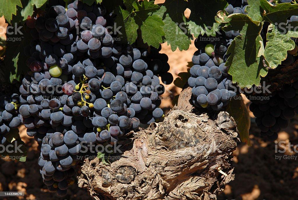 Old Vine stock photo