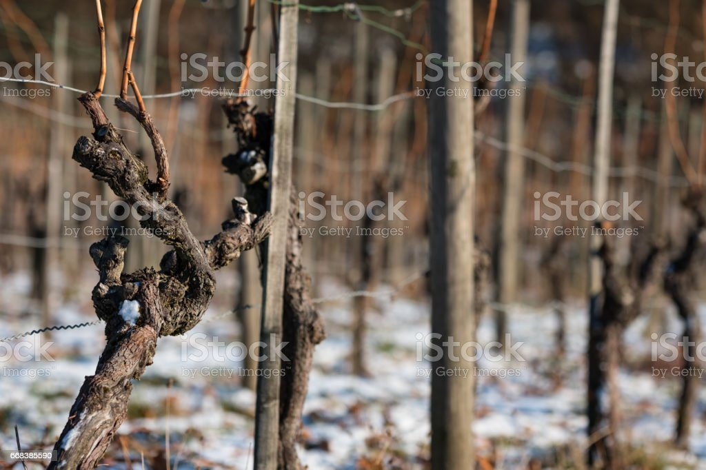 Old vine with bark in winter with snow in a vineyard stock photo
