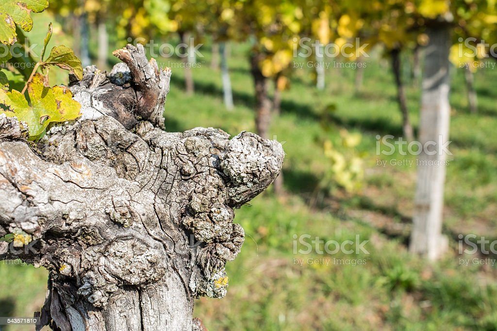 Old vine with cracked bark stock photo