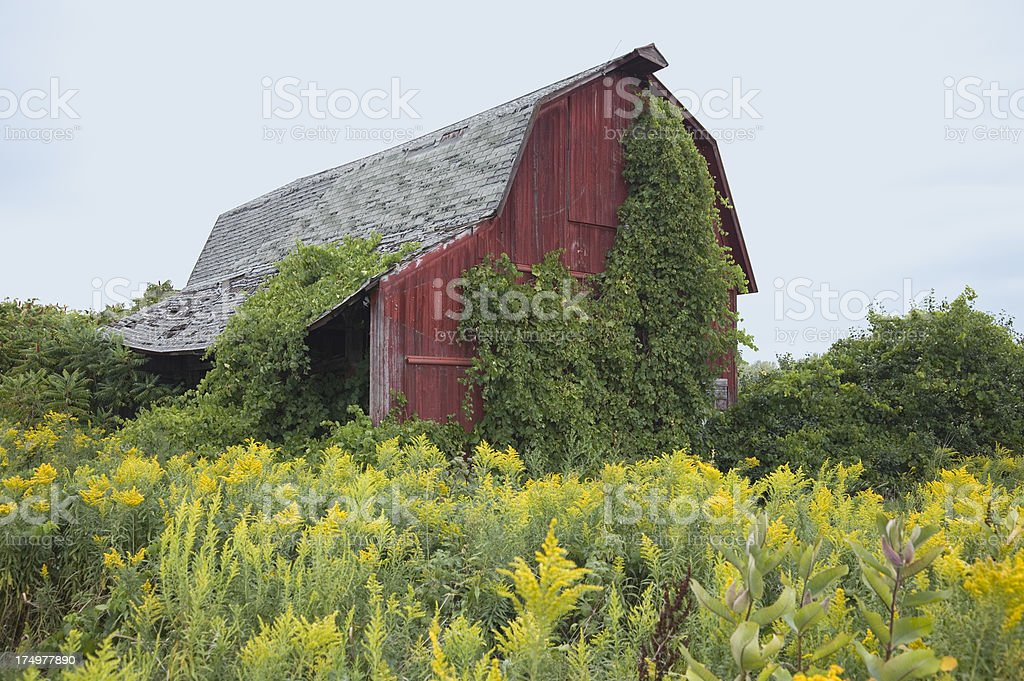 Old vine-covered red barn, dilapidated, roof falling in. royalty-free stock photo