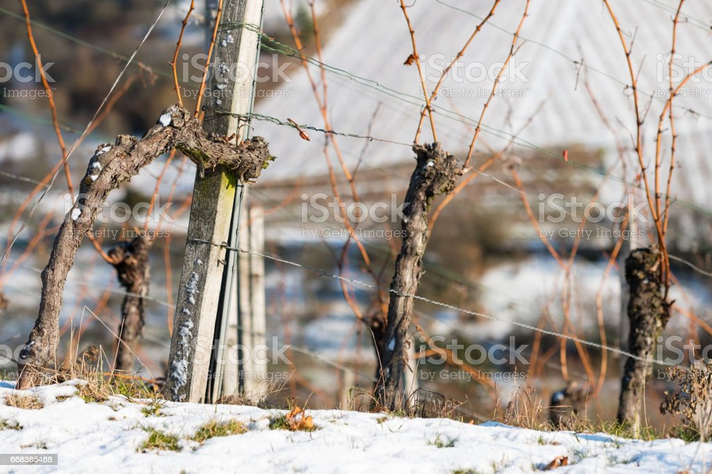 Old vines in a vineyard with snow in winter stock photo