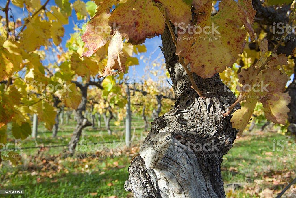 old vines, mclaren vale, south australia royalty-free stock photo