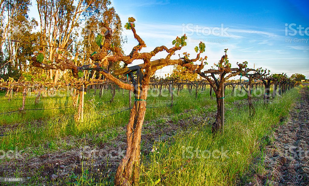 Old Vines stock photo
