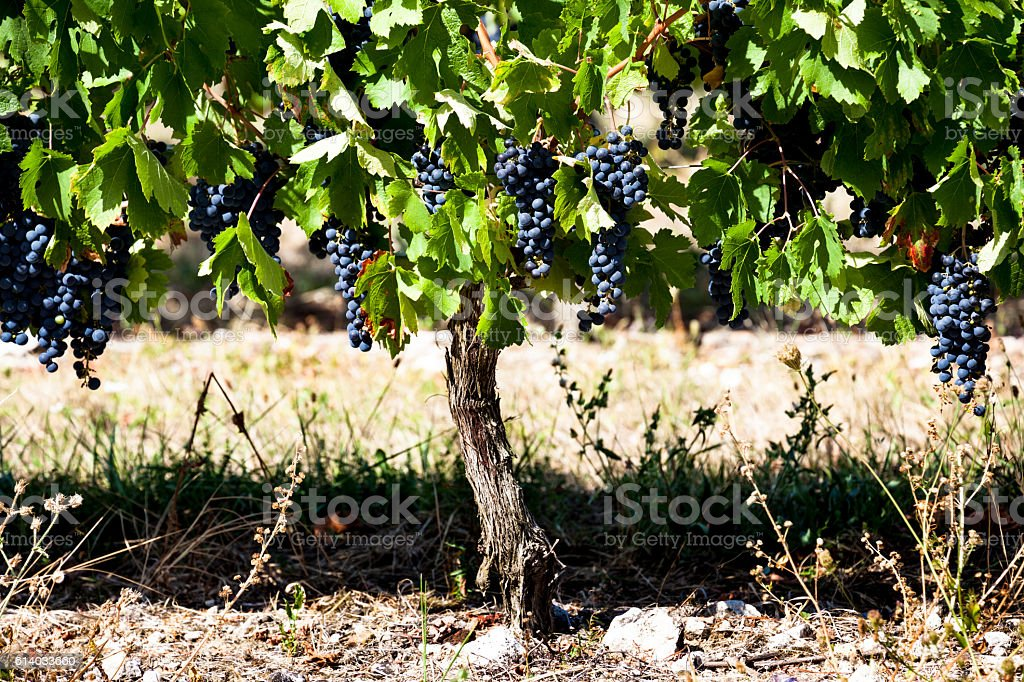 old vines with autumn ripening black grapes near Bergerac France stock photo