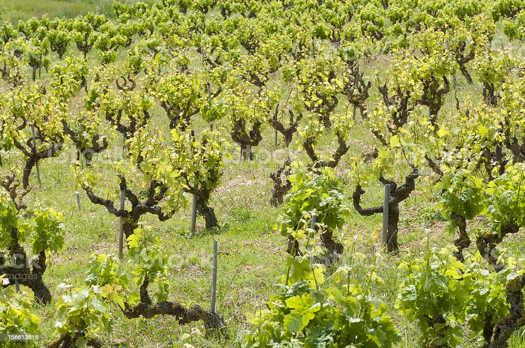 Old vineyards royalty-free stock photo