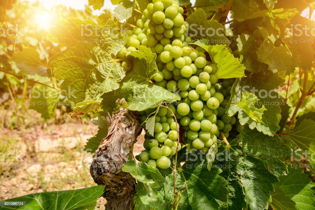 Old vineyards with red wine grapes in the Alentejo wine region near Evora, Portugal Europe stock photo