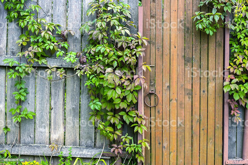Old vintage door with wild grape leaves horizontal stock photo