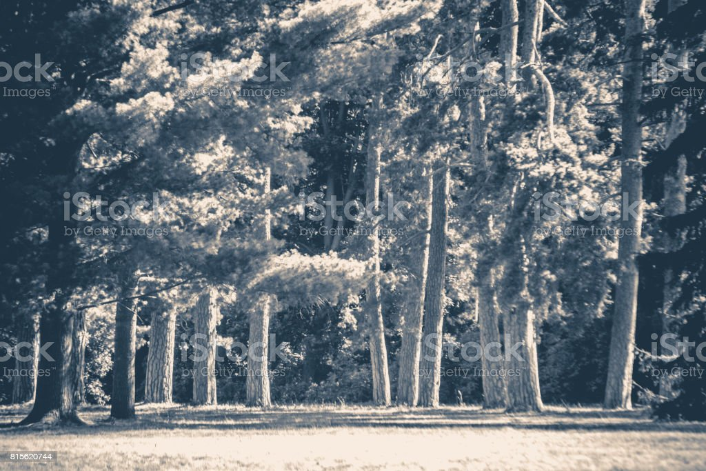 Old vintage photo. Park forest trees trunks glade stock photo