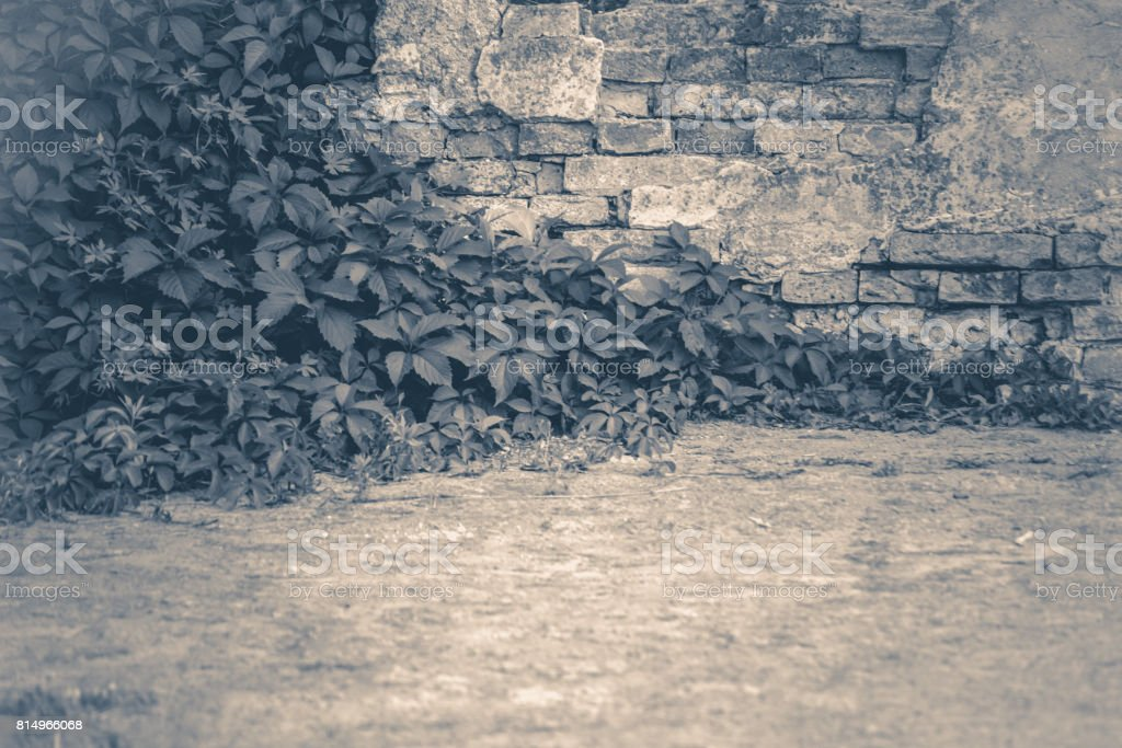 Old vintage photo. Wall brick ivy twisted stock photo