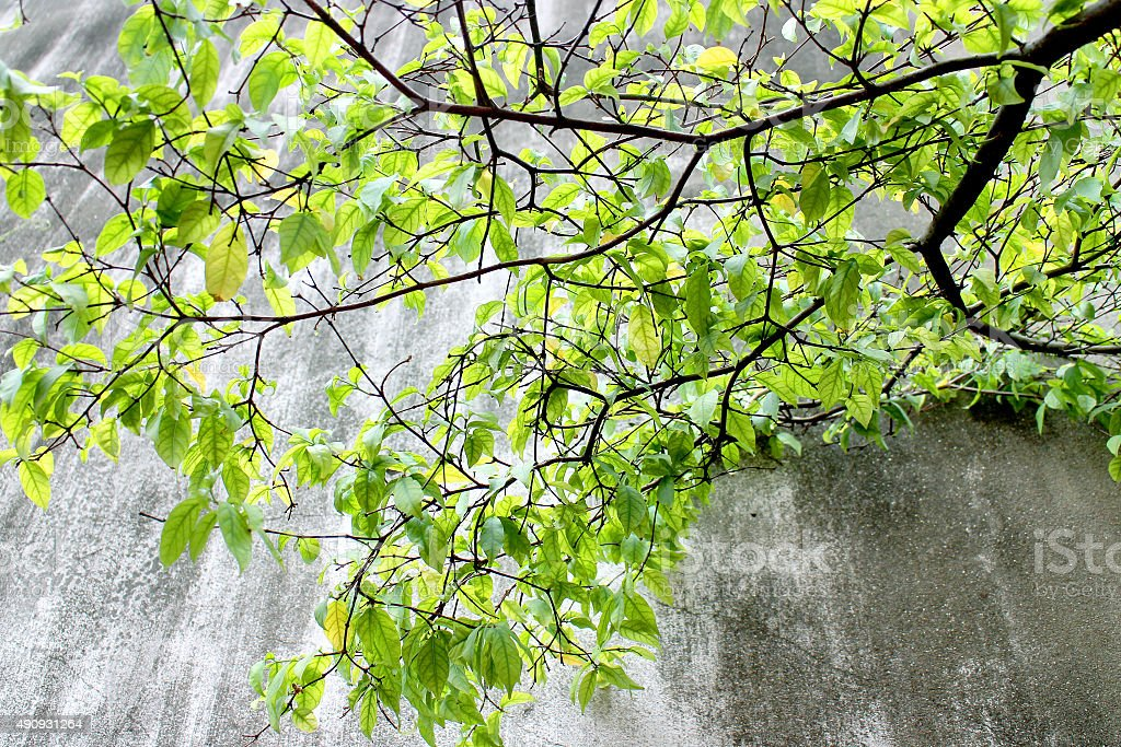 Old wall grunge background and green tree. stock photo