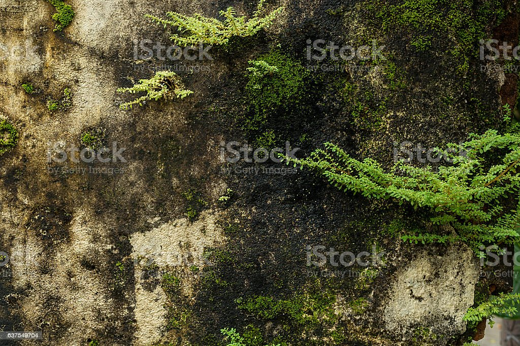 Old wall weathered,weed and moss covered texture. stock photo