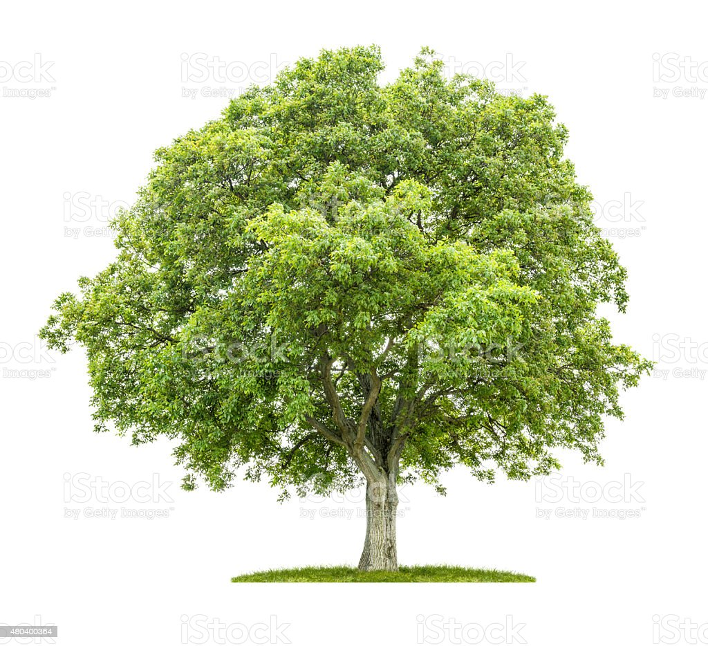 Old walnut tree on a white background stock photo