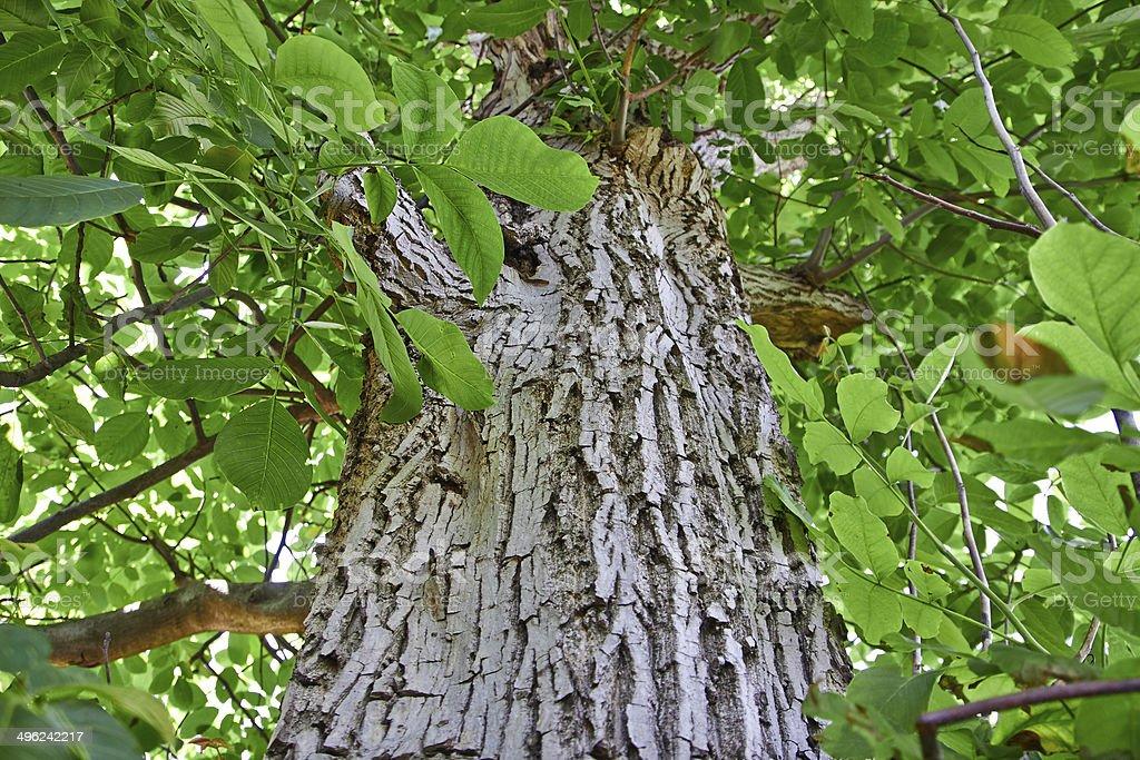 old walnut tree royalty-free stock photo