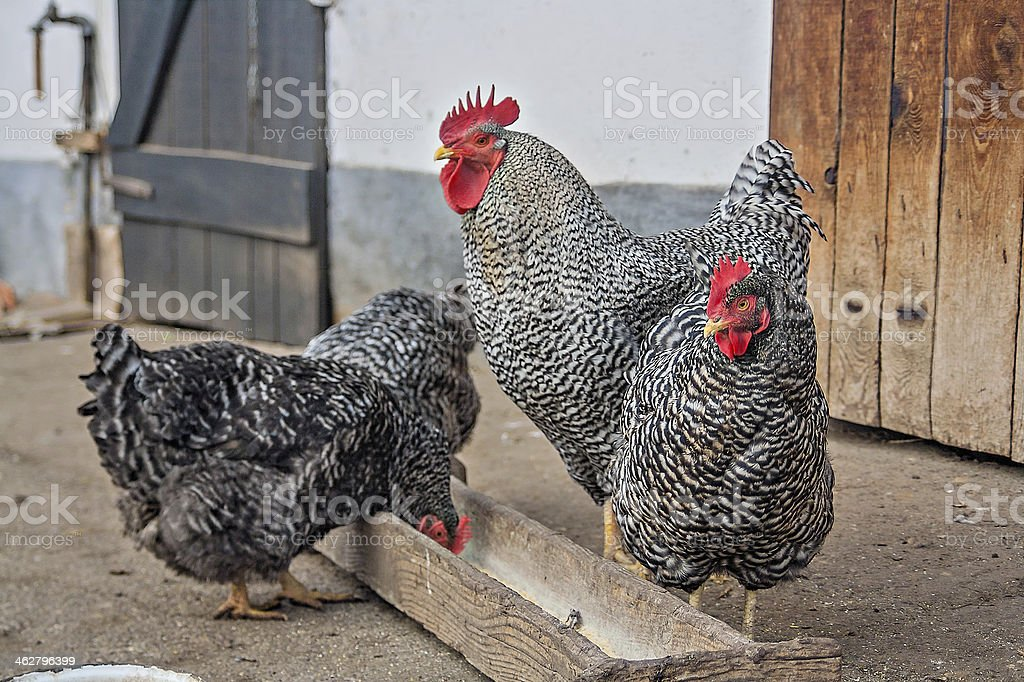 Old way poultry growing stock photo