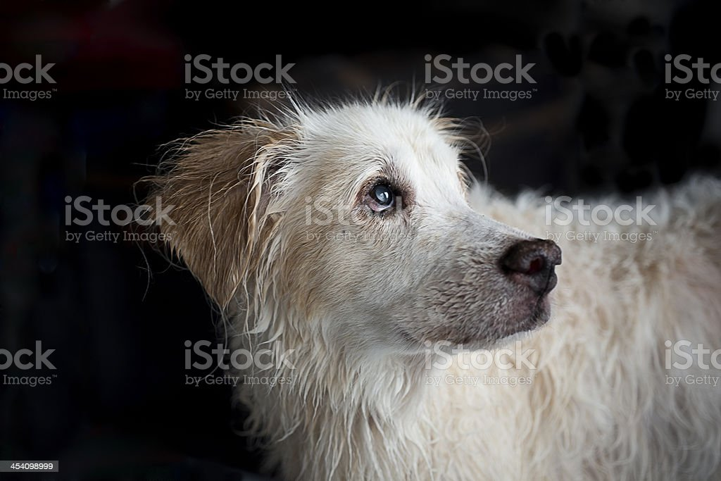 Old White Dog With Cataracts royalty-free stock photo