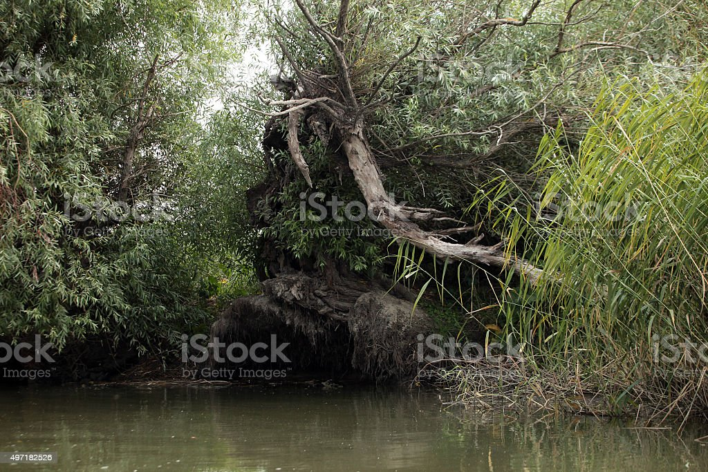 Old willow royalty-free stock photo