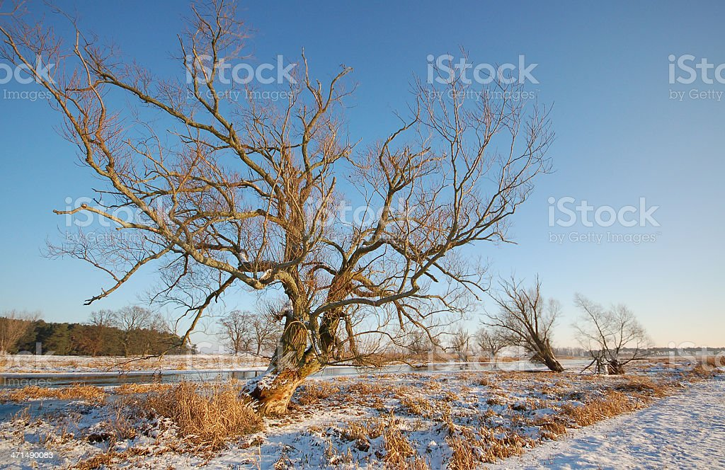 old willow tree and winter landscape at Havel River (Germany) stock photo