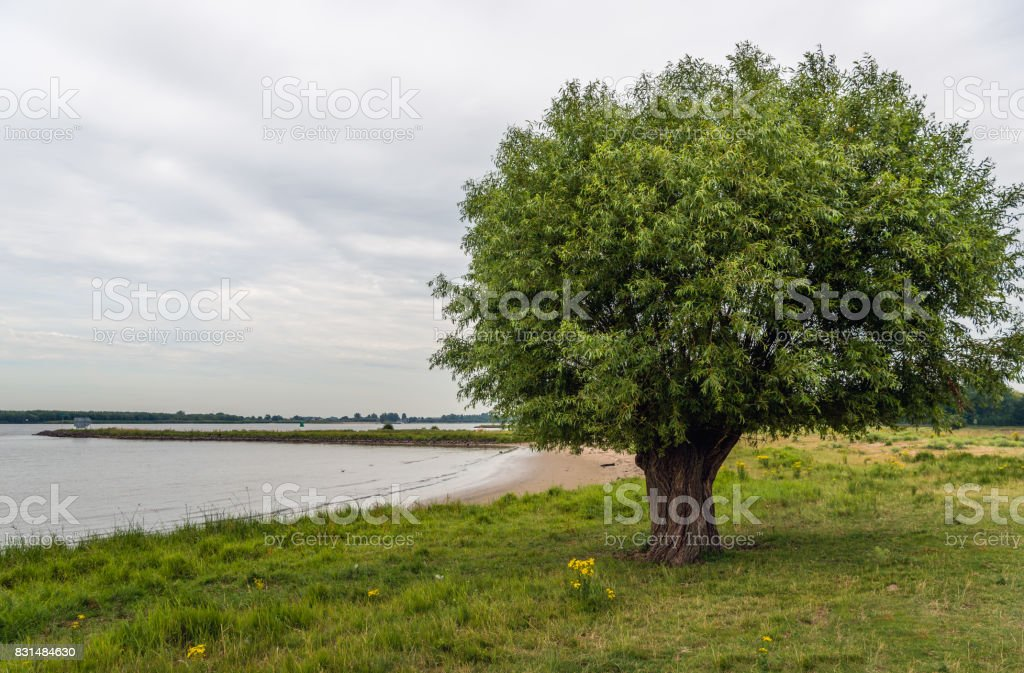 Old willow tree at the banks of a river stock photo