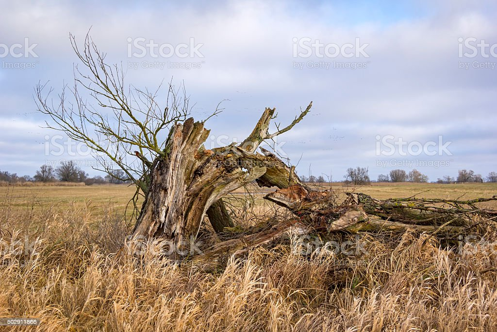 Old willow tree in winter. stock photo