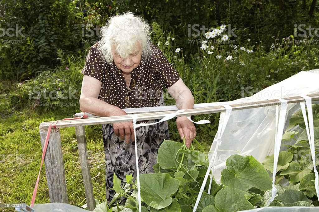 Old woman in a hothouse at bushes of Cucumbers royalty-free stock photo