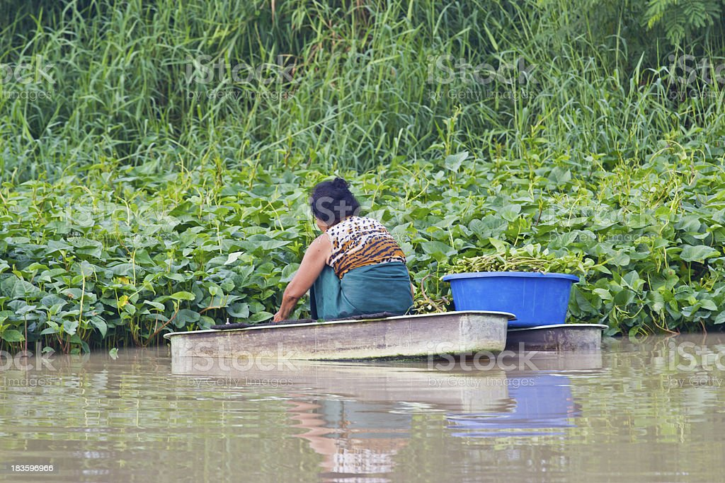 old woman rows to pick Water morning glory royalty-free stock photo