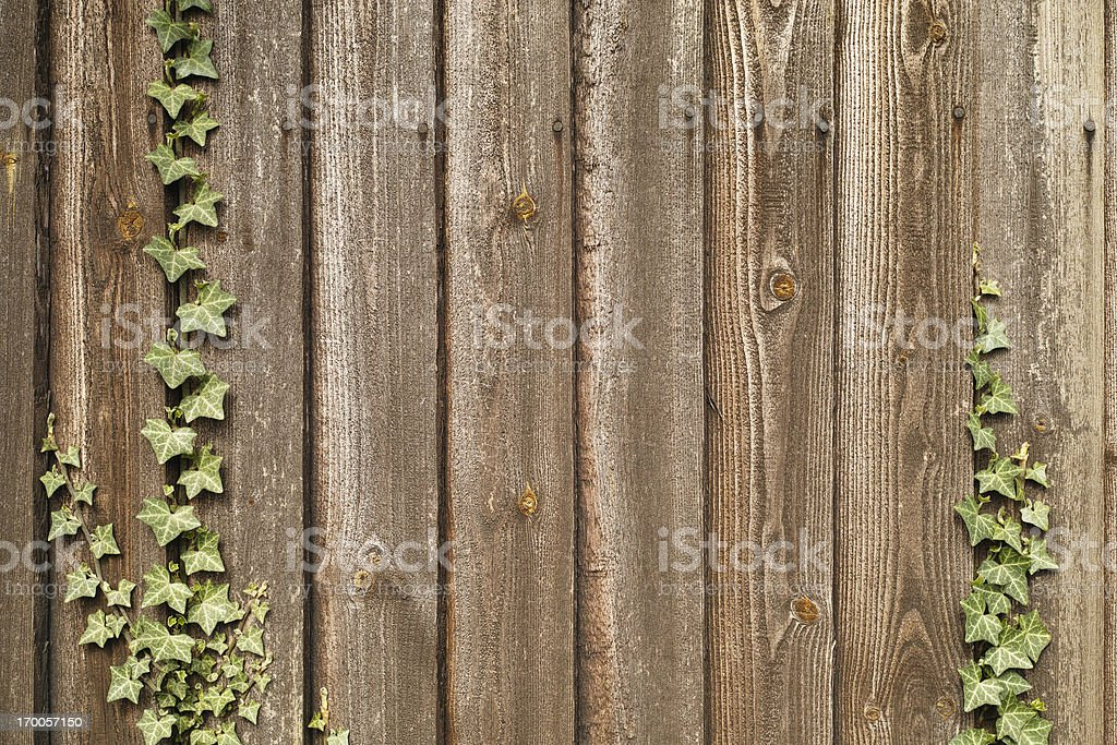 Old wooden fence with ivy. royalty-free stock photo