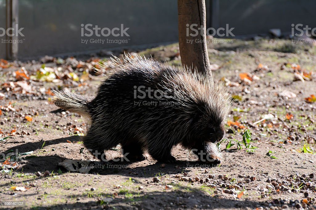 Old World Porcupines stock photo
