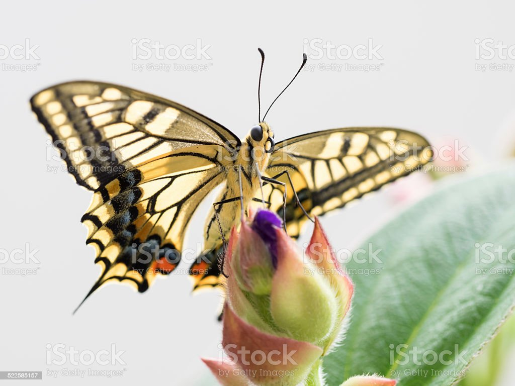 Old World Swallowtail and Bud of the Spider flower stock photo