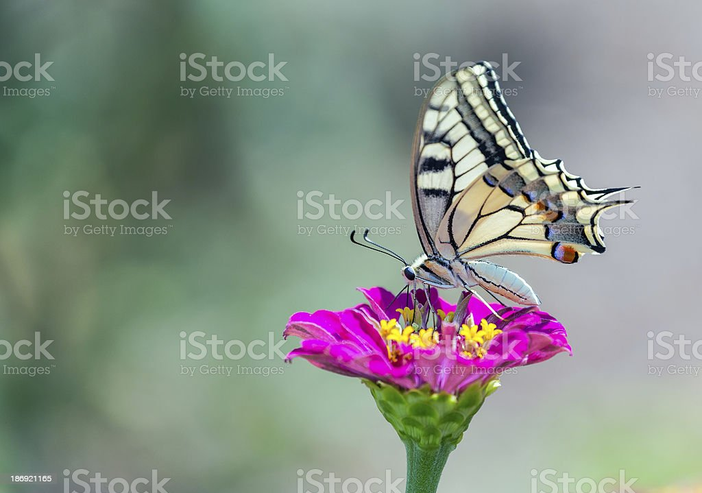 Old World Swallowtail butterfly royalty-free stock photo